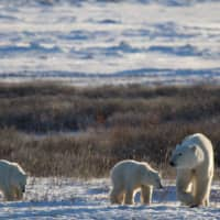 New-born cubs are even more exposed to climate change factors, according to a study, especially when mothers have not fattened up enough to provide nourishing milk. | KT MILLER / POLAR BEARS INTERNATIONAL / VIA AFP-JIJI