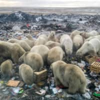 Polar bears' dwindling body weight undermines their chances of surviving Arctic winters without food, scientists have said. | ALEXANDER GRIR / VIA AFP-JIJI