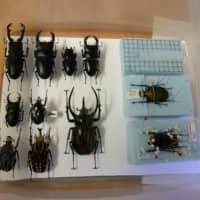 Some beetle enthusiasts keep their collected creatures after their deaths and display them on specimen boards. | ANDREW MCKIRDY