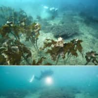 A seaweed forest in November 2007 (top) in waters off Kyonan in Chiba Prefecture had disappeared by June this year.  | KYODO