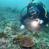 A diver shines a flashlight on a table coral in waters off Kyonan in Chiba Prefecture on June 18. | KYODO