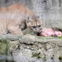 Pumas at Morioka Zoological Park in Iwate Prefecture are being fed with dead boars as part of a 'carcass feeding' program. | COURTESY OF MORIOKA ZOOLOGICAL PARK / VIA KYODO