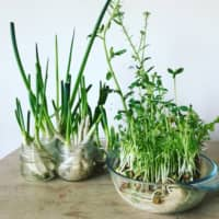 Edible interiors: You can regrow vegetables from scraps in glass jars — simply fill with water and put in a sunny place, replacing the water once a day. | COURTESY OF ZEROWASTE.TOKYO