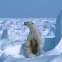 Climate change is starving polar bears into extinction, according to research published last month. | AMSTRUP / POLAR BEARS INTERNATIONAL / VIA AFP-JIJI