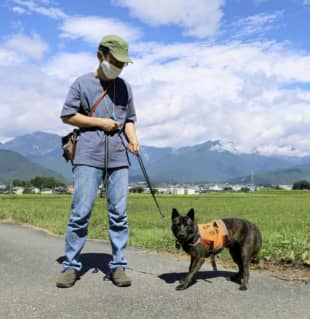A 'monkey dog' trained to chase away wild primates works in Omachi, Nagano Prefecture. | KYODO
