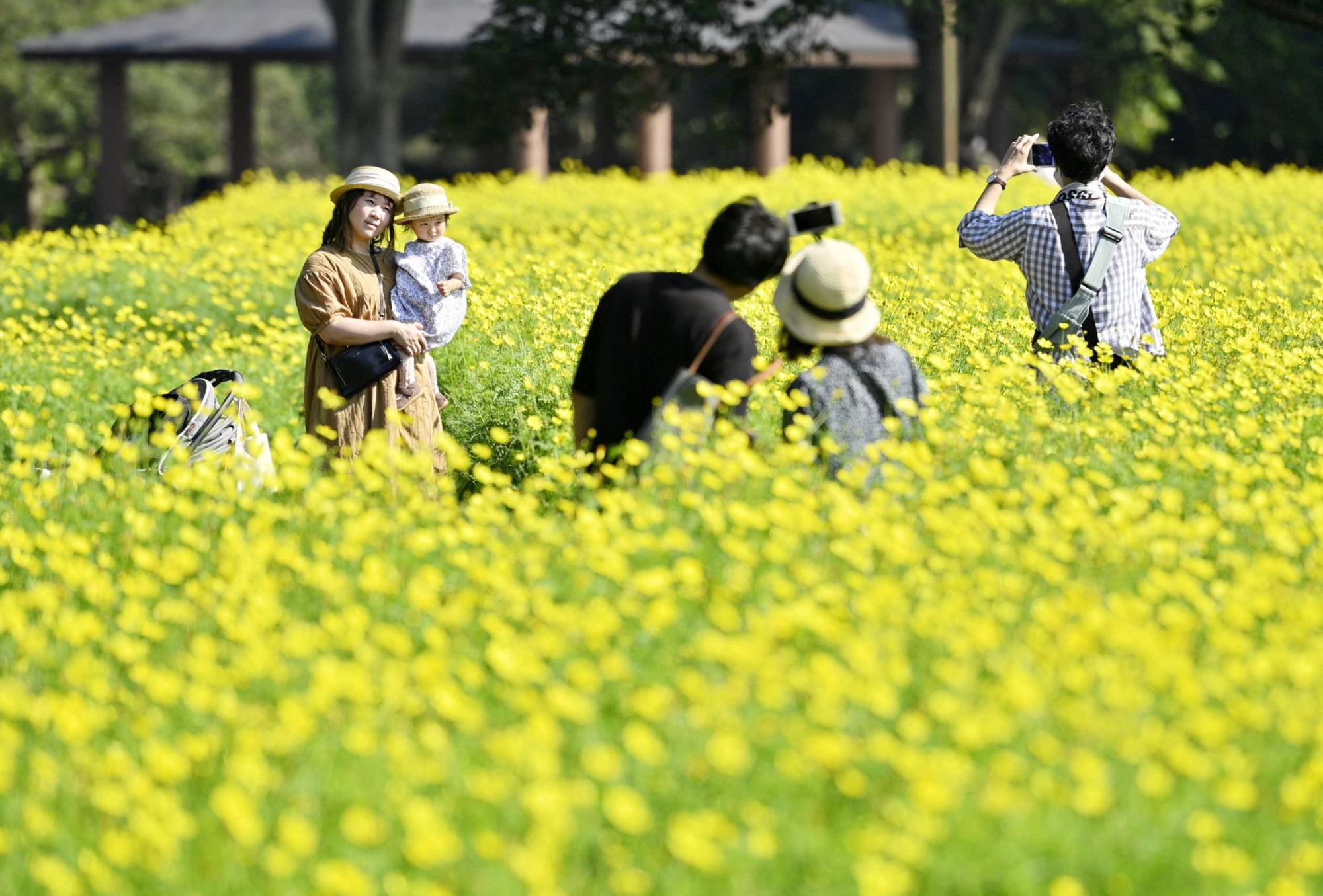 People enjoy Sulfur cosmos flowers, which are in full bloom, at Showa Kinen Park in Tokyo on Friday.   KYODO