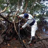 A Japan International Cooperation Agency expert on Saturday confirms oil drifting in swamps where mangroves live in Mauritius. | AFP-JIJI