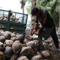 Coconut oil, as opposed to palm oil, has been increasing in popularity as a healthy superfood with fewer cultivation concerns.  | REUTERS