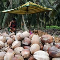 A worker peels coconuts at a coconut plantation in Sungai Besar, Malaysia.  | REUTERS