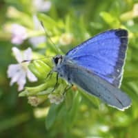 Blue Japanese butterfly endemic to Ogasawara Islands feared extinct