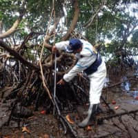 A member of a disaster-relief team investigates the oil-covered mangroves in Mauritius on Aug. 22. | JAPAN INTERNATIONAL COOPERATION AGENCY / VIA KYODO