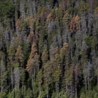 Dead and dying pine trees, infested by mountain pine beetles, stand in a forest near Whitecourt, Alberta, Canada, in 2015. | BLOOMBERG