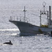 The season's first drive hunt of dolphins and other small cetaceans starts in waters off Taiji, Wakayama Prefecture, on Tuesday. | KYODO