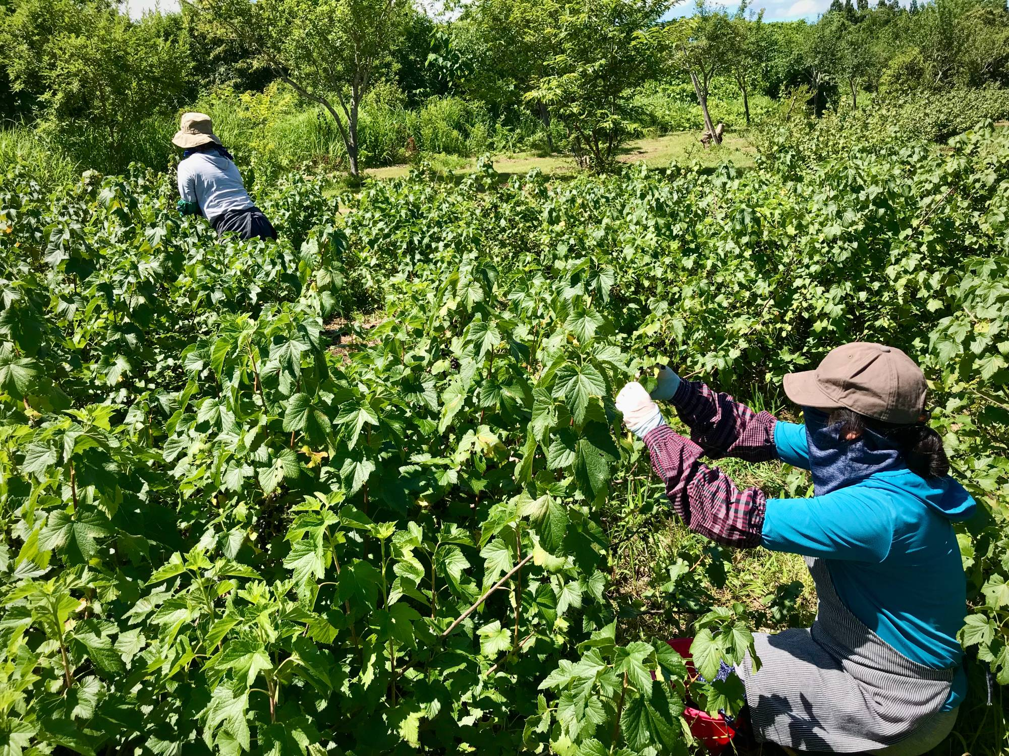 A dicey affair: The window to harvest blackcurrants is short — usually the first two weeks of July — and easily derailed by inclement weather.  | COURTESY OF KENJI HAYASHI