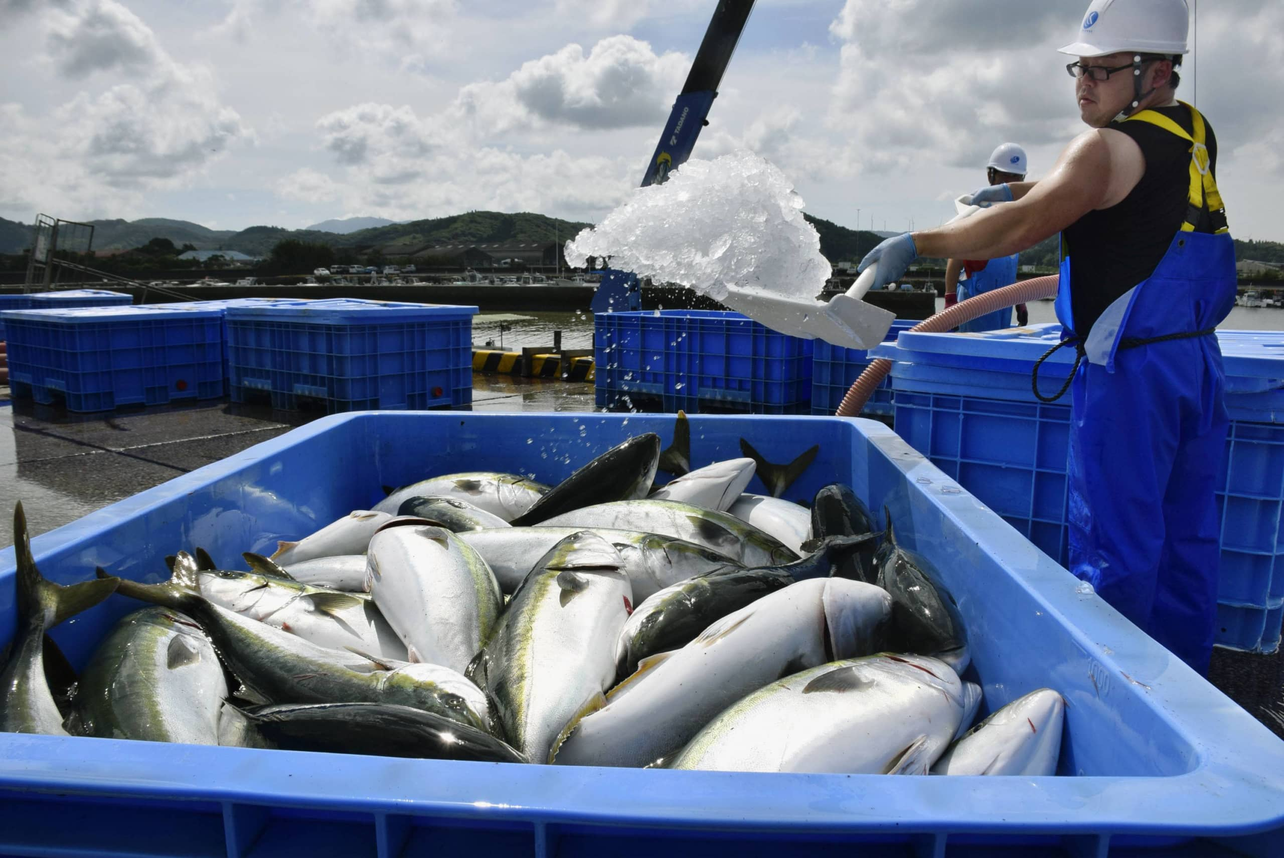 Yellowtail is unloaded from open sea cages at a fish farm in Kushima, Miyazaki Prefecture, on July 2. | KYODO