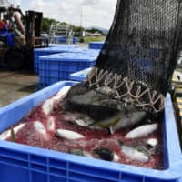 Yellowtail exports totaled ¥22.9 billion in 2019, jumping 45.4 percent from a year earlier and more than fourfold from ¥5.5 billion in 2009, according to the Ministry of Agriculture, Forestry and Fisheries. | KYODO