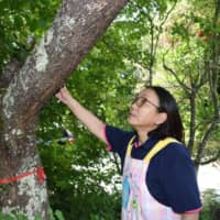 Keiko Shigihara used to make pickles out of flower petals from a cherry tree at her former home in Fukushima Prefecture. | FUKUSHIMA MINPO