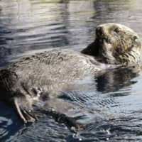 Japan's oldest sea otter in captivity dies at 25