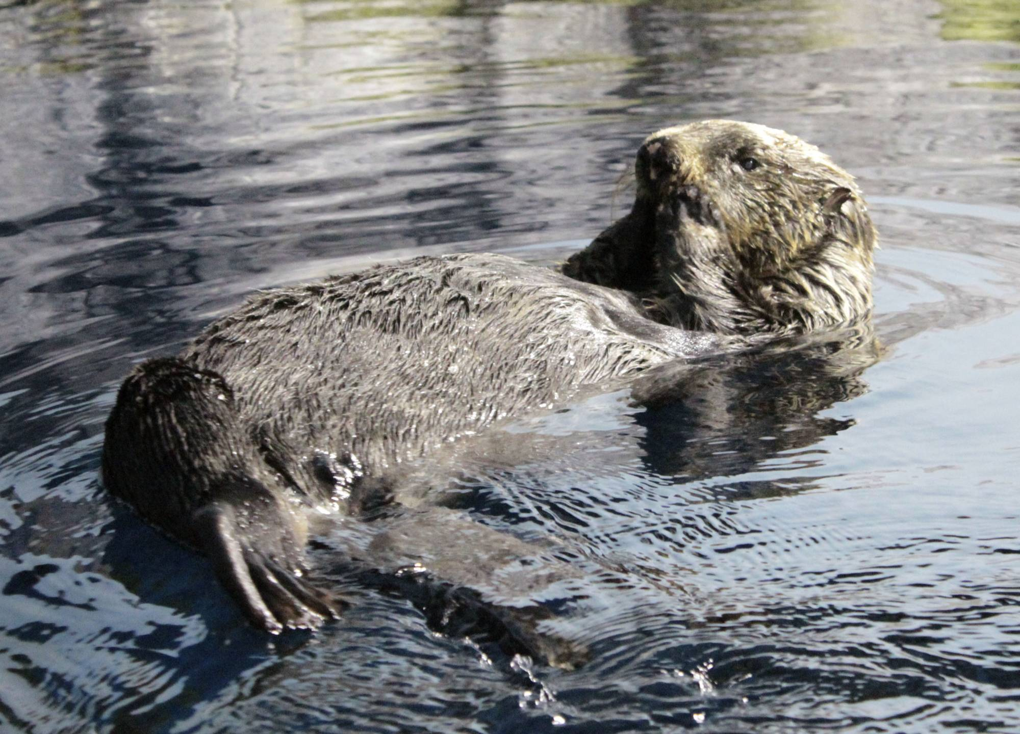 Rasuka, Japan's oldest sea otter in captivity, seen in this file photo, has died at 25 years old — equivalent to 100 human years. | NOTOJIMA AQUARIUM / VIA KYODO