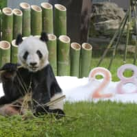 World's oldest naturally bred panda marks 28th birthday in Japan
