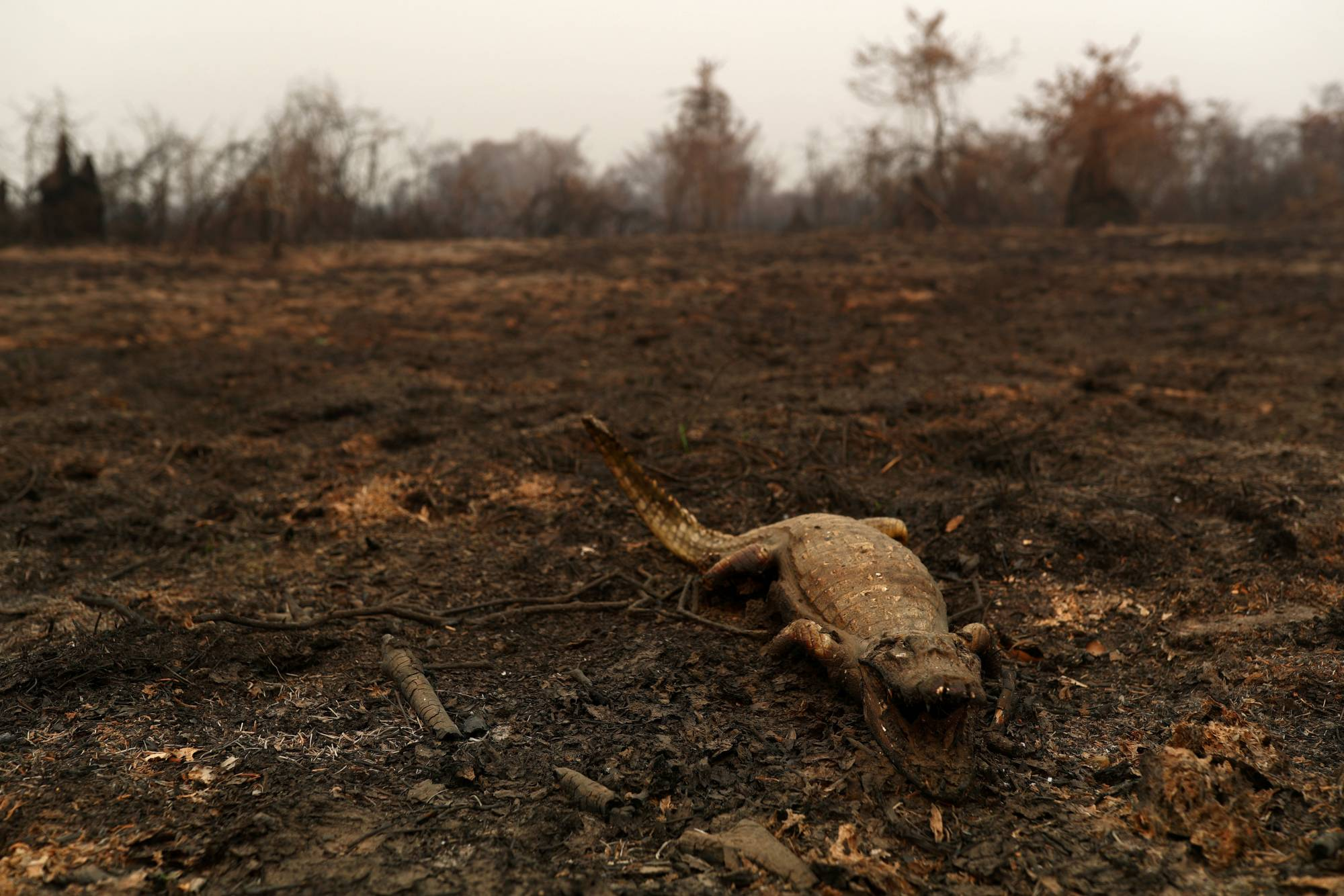 A dead caiman in a burned area of the Pantanal | REUTERS