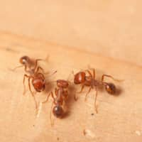 Fire ants were found crawling out of sidewalks and holes in the ground at Nagoya Port, the Environment Ministry said. | GETTY IMAGES