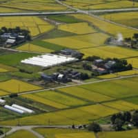 A Japan-based team of biological scientists has developed a new rice variety that is salt-resistant. | BLOOMBERG