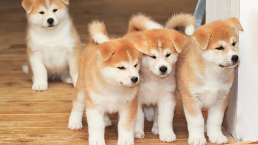 Akita paper launches English site to spread word on beloved dogs