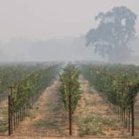 Thick smoke from the Glass Fire settles among the rows of grapes at the Wolleson Vineyard in Calistoga, California, on Tuesday.  | AFP-JIJI