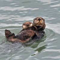 The Hokkaido town of Hamanaka has seen an influx of tourists with high-end cameras hoping to photograph the area's resident sea otters. | COURTESY OF YOSHIHIRO KATAOKA / VIA KYODO