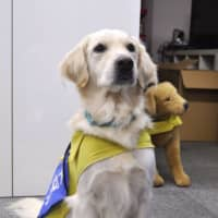 A golden retriever trained to help child crime victims overcome the psychological burden of testifying in court | KYODO