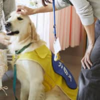 A golden retriever is checked in October 2017 to be certified as a courthouse dog trained to provide psychological support to children. | JAPAN SERVICE DOG ASSOCIATION / VIA KYODO