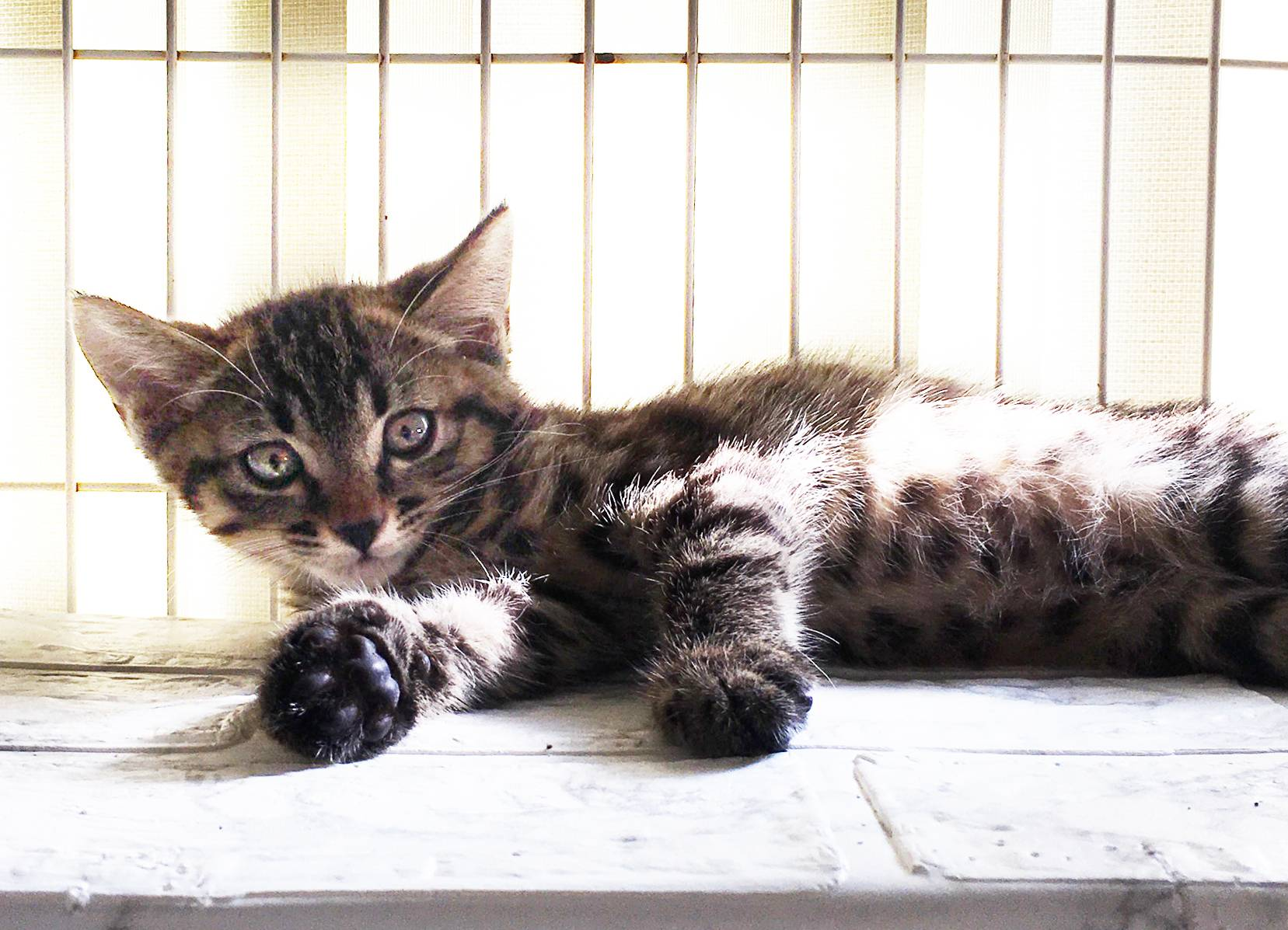Eye on the ball: Choco is a kitten looking for a place to play.  | JULIE OKAMOTO