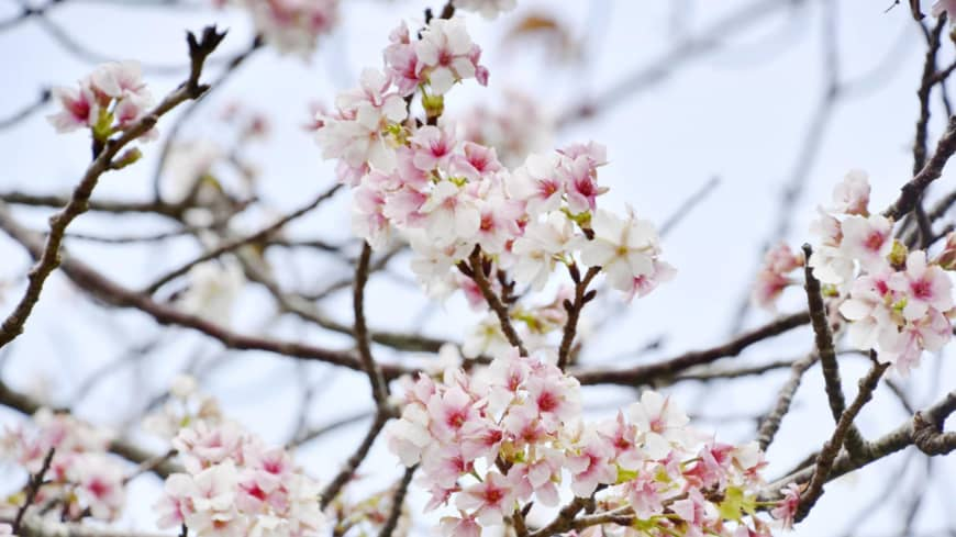 Group dreams of displaying Japan's cherry blossoms at Summer Olympics