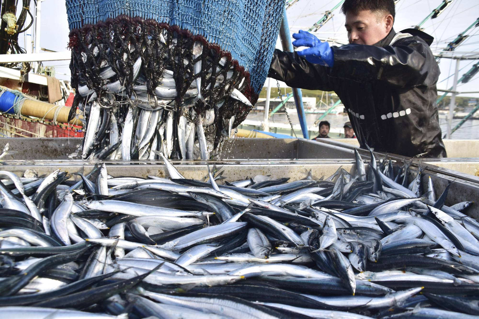 Artificial intelligence tools can be utilized to find good fishing grounds for saury. | KYODO