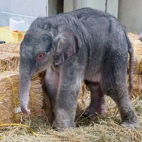 A male Asian elephant was born at Ueno Zoo in Tokyo on Saturday. | TOKYO ZOOLOGICAL PARK SOCIETY / VIA KYODO