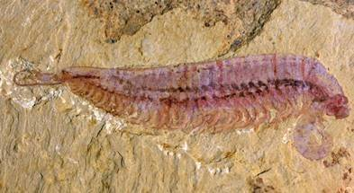 A handout photograph released by The Nanjing Institute of Geology and Palaeontology CAS on Wednesday shows a fossil specimen of Kylinxia zhangi taken in 2019 in Yunnan, China   NANJING INSTITUTE OF GEOLOGY AND PALAEONTOLOGY/HUANG AND ZENG/VIA AFP-JIJI