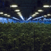 Marijuana grows at the Harmony Dispensary in Secaucus, New Jersey. On Wednesday, U.S. voters approved a constitutional amendment to legalize cannabis in the state. | BRYAN ANSELM / THE NEW YORK TIMES