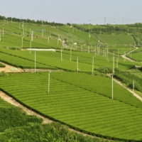 DNA provides farmers with a faster way to improve tea cultivation