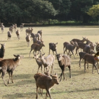 Deer at Nara Park are now moving to the park's wooded area for tree nuts as visitors dwindles amid the coronavirus pandemic. | KYODO