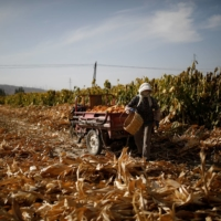 A farmer harvests corn in a field on the outskirts of Jiayuguan, Gansu province, China. | REUTERS