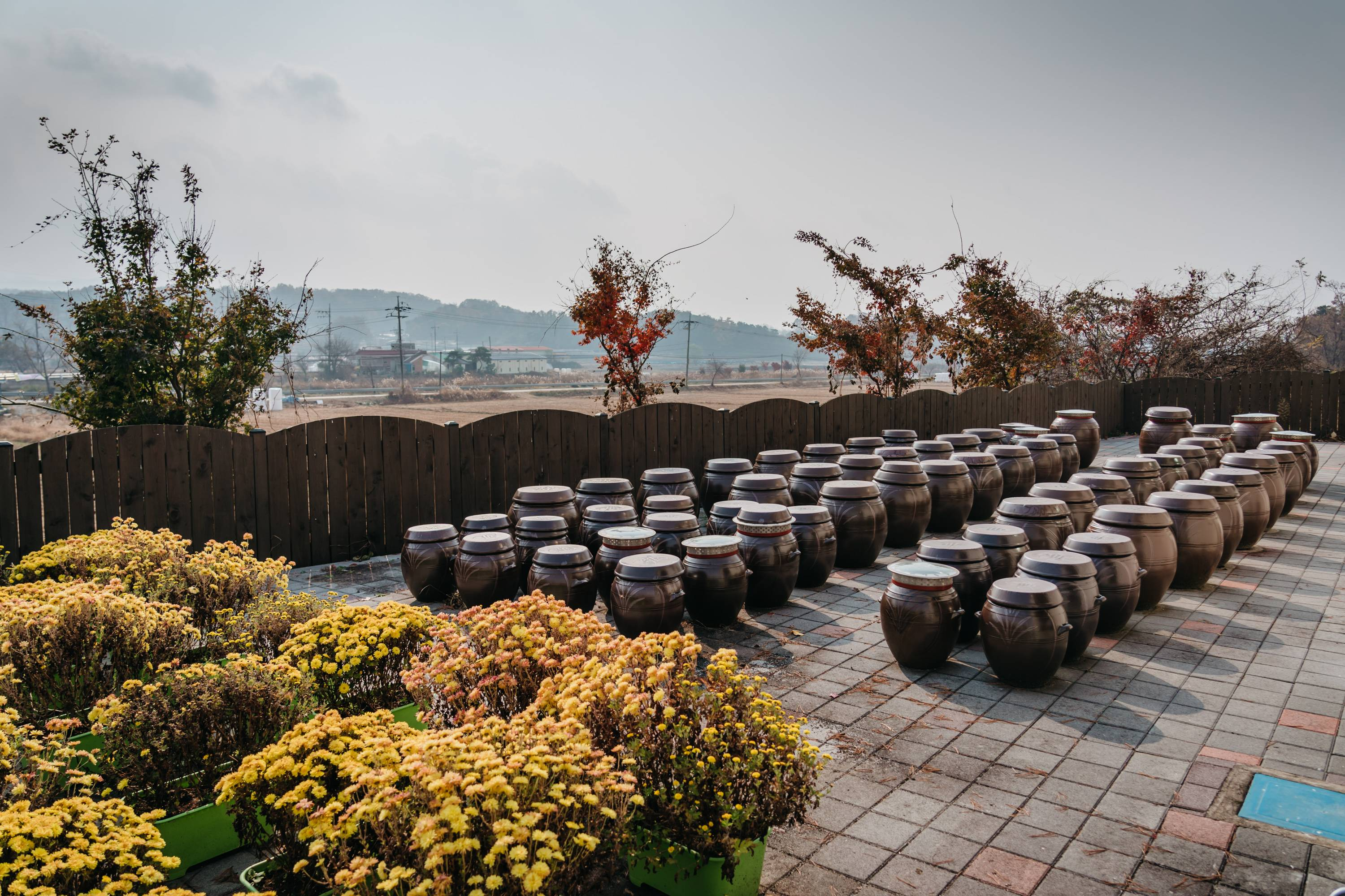 Clay pots in Goesan county in South Korea on Nov. 7. Traditionally, Koreans store kimchi in the pots where the lactic fermentation that occurs gives the kimchi its unique taste and texture. Families that have grown weary of eating commercial kimchi in big cities have started making pilgrimages to the countryside where they can learn how to prepare it on their own. | JUN MICHAEL PARK/THE NEW YORK TIMES