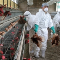 Japan recorded an outbreak of highly pathogenic bird flu on Nov. 5 at a poultry farm in Mitoyo, Kagawa Prefecture. It was the first such outbreak in the country in almost three years. | REUTERS