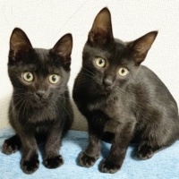 Black magic: Beruang (left) and Beer are two kittens that love to play. | HARUNA AKIYAMA