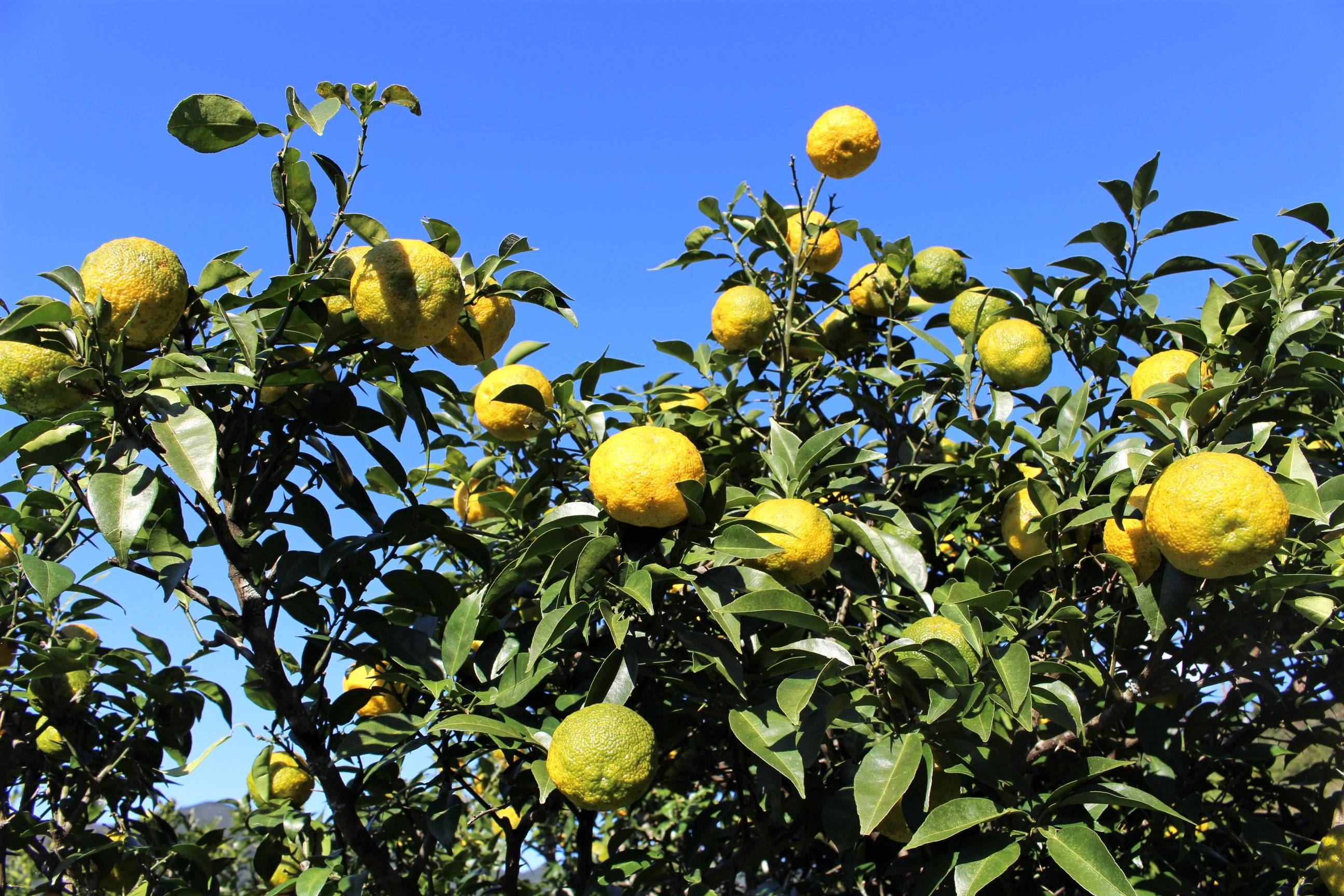 Deep roots: Violet Pacileo's family land has 100 yuzu citrus trees planted by her grandparents, which she now tends to, selling the fruit. | CHIARA TERZUOLO