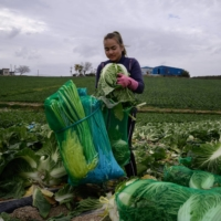 A worker from Thailand packages cabbages during a harvest at a farm near Mokpo, South Korea.  | AFP-JIJI