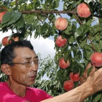 Fukushima Prefecture, which is the second-largest producer of peaches in Japan, saw the reputation of its local produce take a nosedive after the March 2011 nuclear disaster. | KYODO