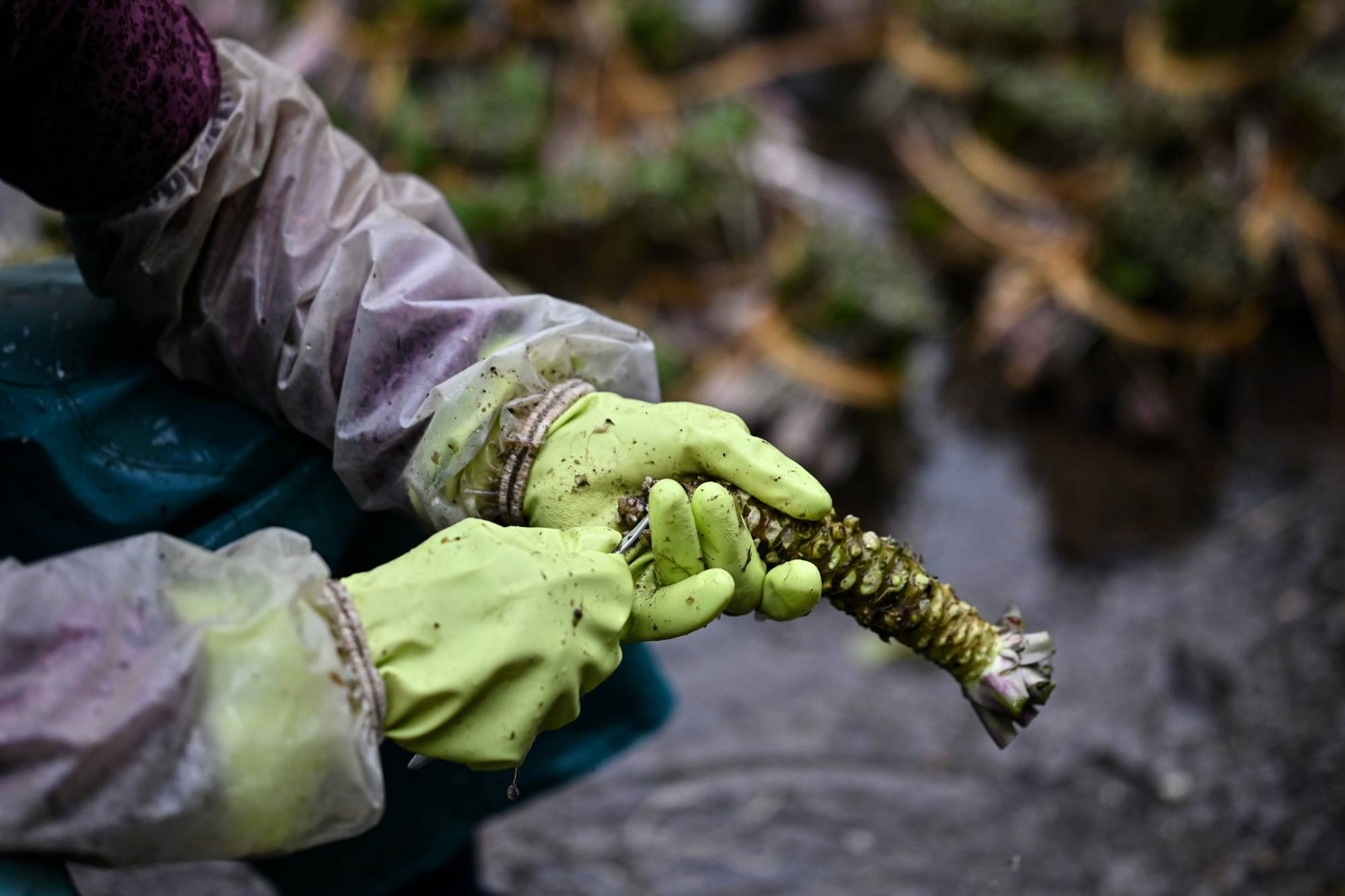 Freshly picked: A woman removes leaves from a wasabi root at a farm in Ikadaba in the city of Izu, Shizuoka Prefecture. | CHARLY TRIBALLEAU / AFP