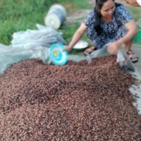 Ecologgie works with Cambodian farmers to breed crickets that can be used as ingredients for food and animal feed.  | COURTESY OF ECOLOGGIE