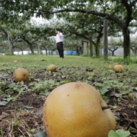 Pears lie on the ground at a fruit farm in Matsudo, Chiba Prefecture, in September 2019 in the wake of Typhoon Faxai.   KYODO